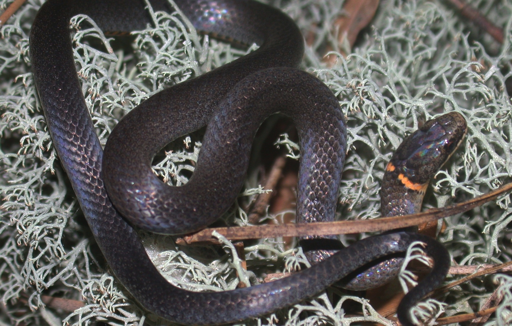 Note the incomplete ring on this ringneck from the Coastal Plain Photo by JD Willson
