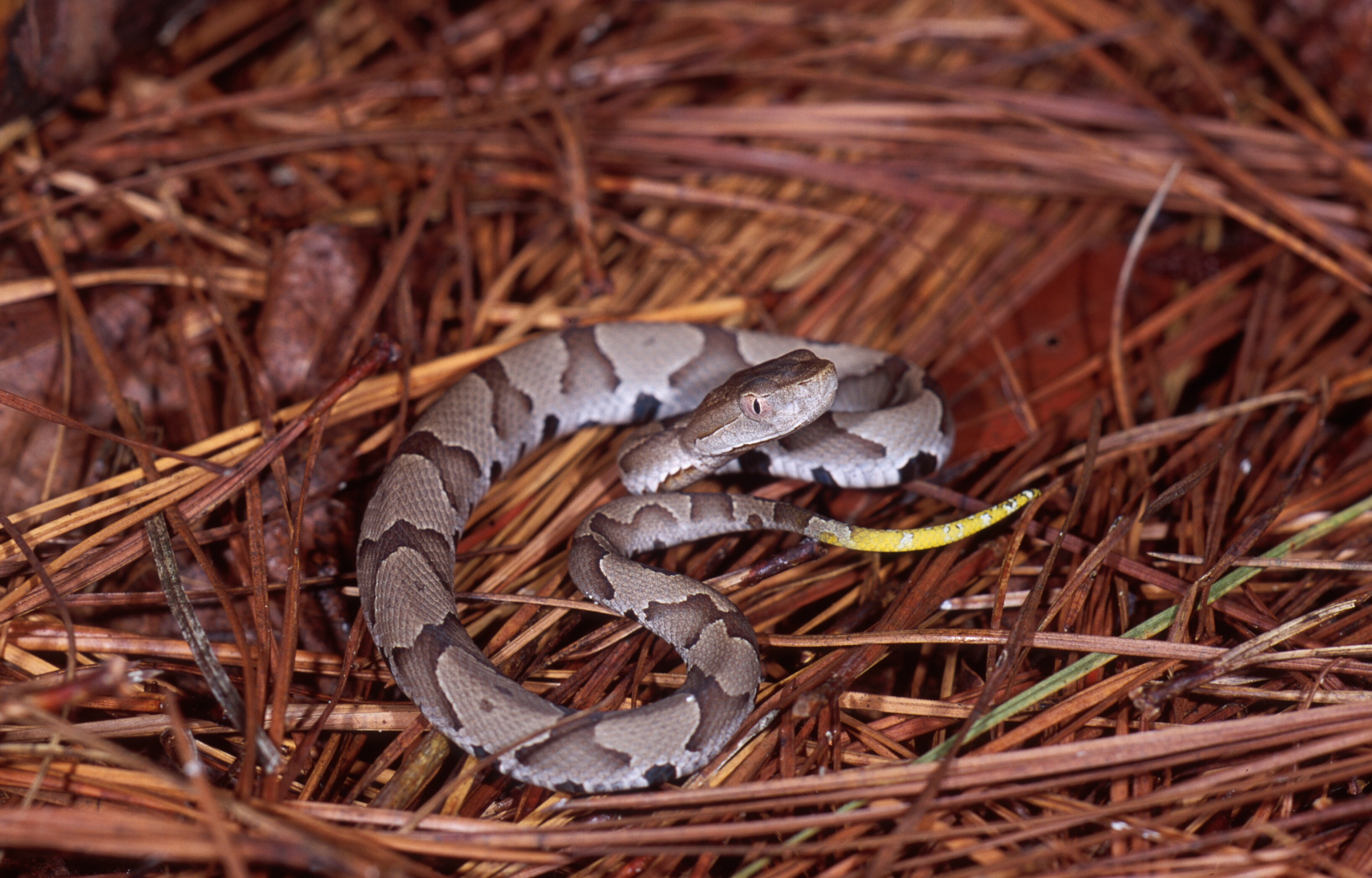 Juvenile Copperhead Photo by Eric Stine