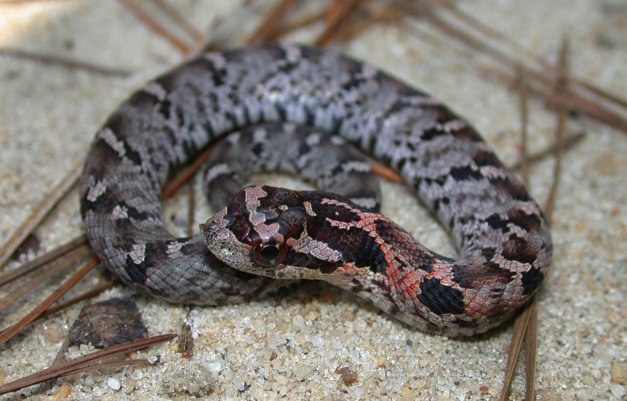 Juvenile eastern hognose Photo by JD Willson