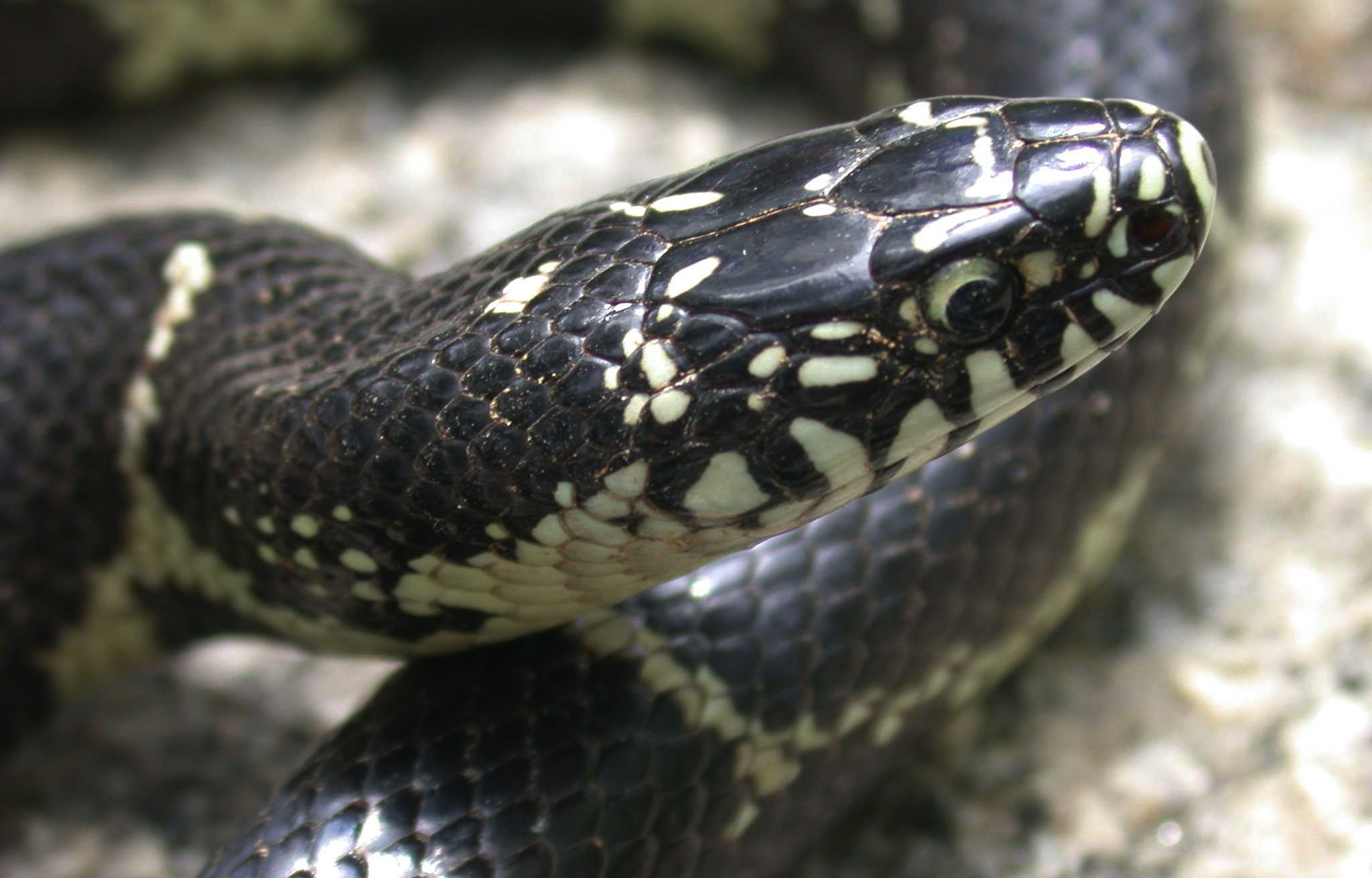 Lampropeltis getula - 4.14.02 - Lansdford Canal SP, SC - close head shot copy