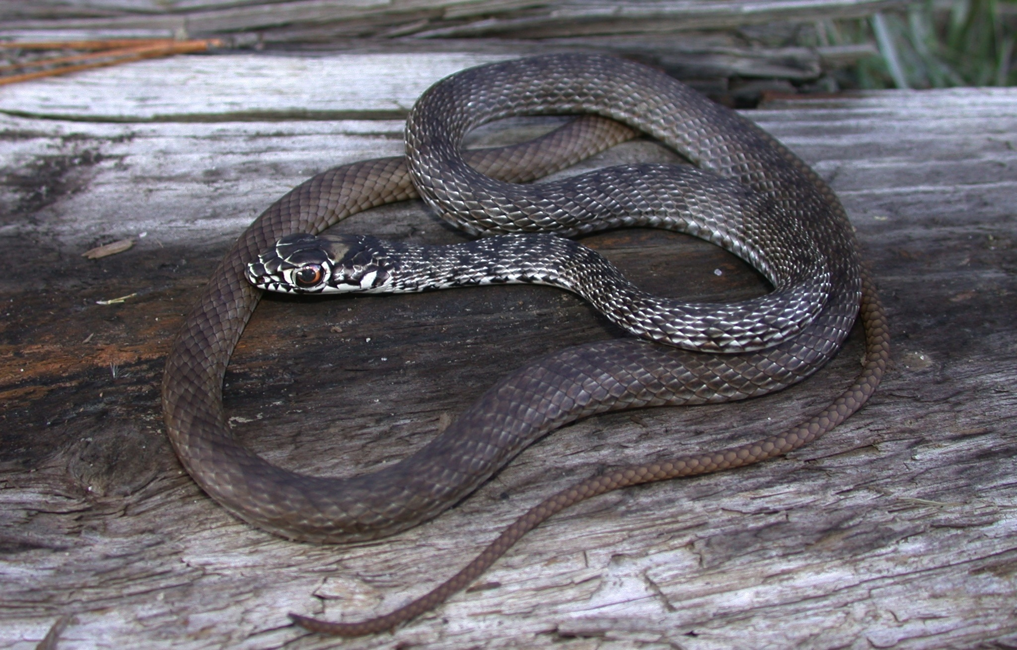 Juvenile coachwhip Photo by JD Willson