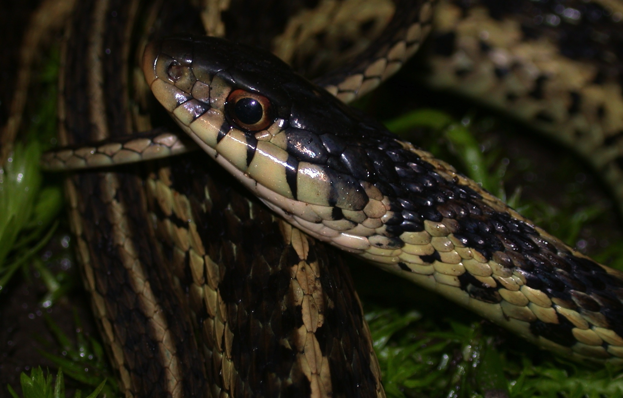 Garter snakes have labial bars Photo by JD Willson