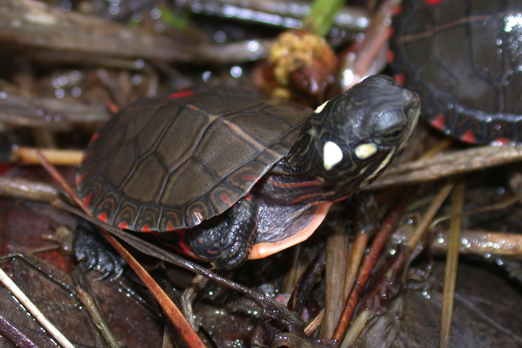 Painted turtle hatchling Photo by JD Willson