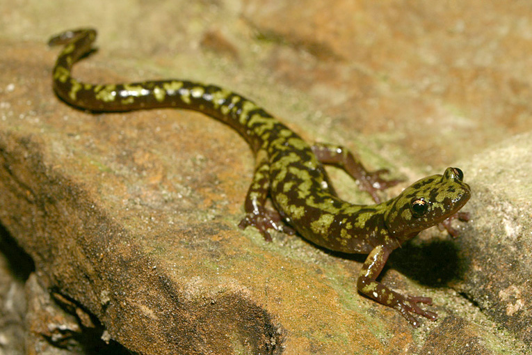the green salamander