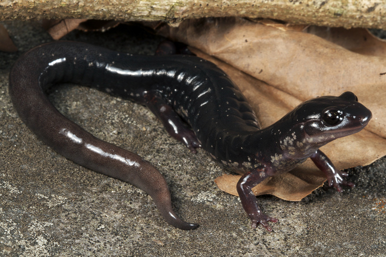 Southern Appalachian Salamander Photo by Todd Pierson