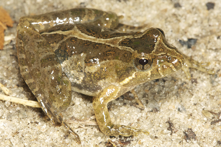 Southern Cricket Frog Photo by Todd Pierson