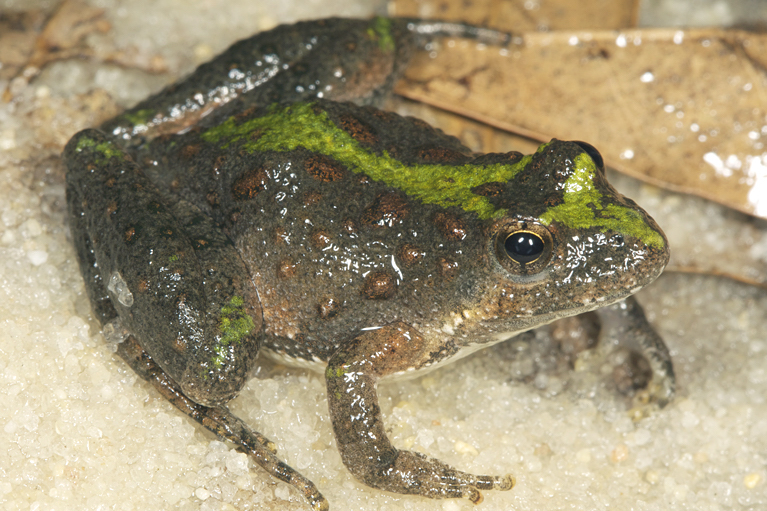Northern Cricket Frog Photo by Todd Pierson