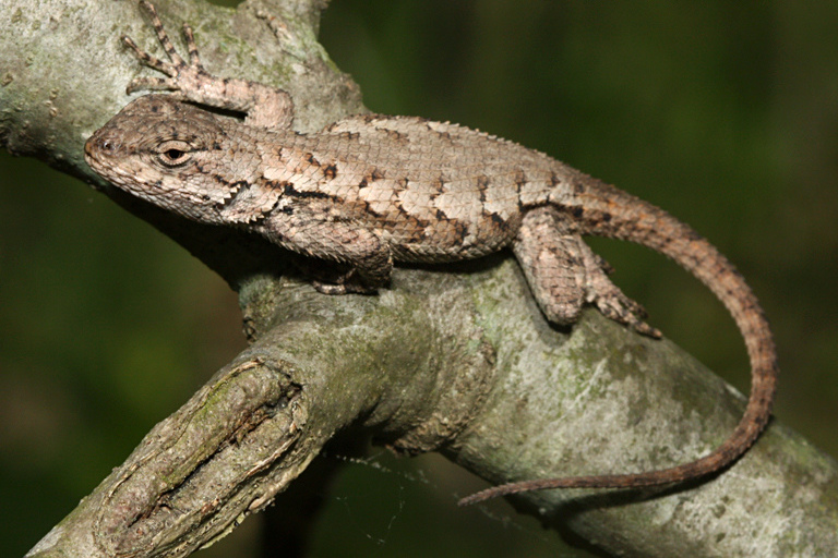 Photo By Todd Pierson Eastern Fence Lizard