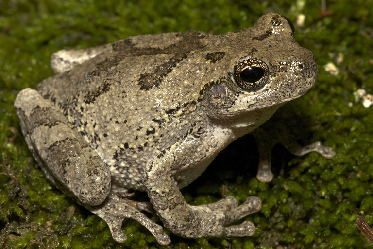 Photo by Todd Pierson Copes Gray Treefrog